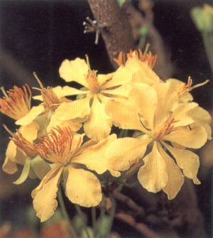 ดอกไม้ประจำจังหวัดมุกดาหาร