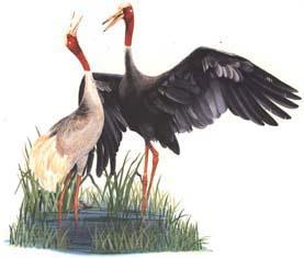 นกกระเรียน  สัตว์ป่าสงวนของไทย