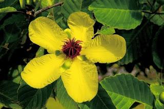 ดอกไม้ประจำชาติประเทศบรูไน ดารุสซาลาม