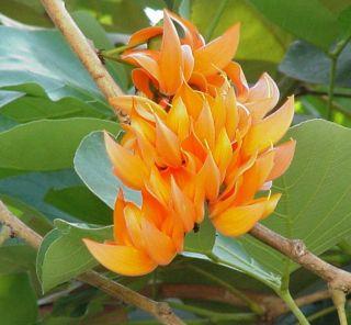 ดอกไม้ประจำจังหวัดลำพูน