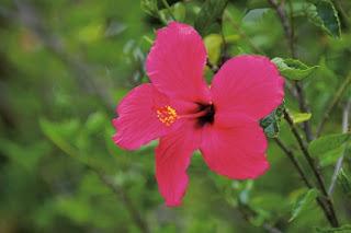 ดอกไม้ประจำชาติประเทศมาเลเซีย