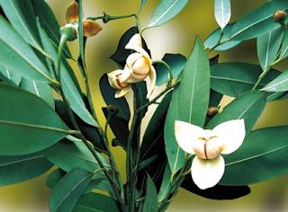 ดอกไม้ประจำชาติประเทศกัมพูชา