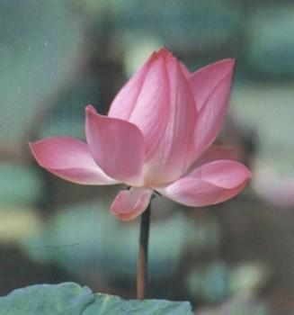 ดอกไม้ประจำจังหวัดอุบลราชธานี