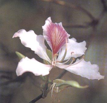 ดอกไม้ประจำจังหวัดน่าน