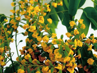ดอกไม้ประจำชาติประเทศพม่า