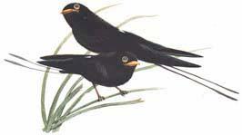 นกเจ้าฟ้าหญิงสิรินธร   สัตว์ป่าสงวนของไทย