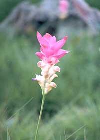 ดอกไม้ประจำจังหวัดชัยภูมิ