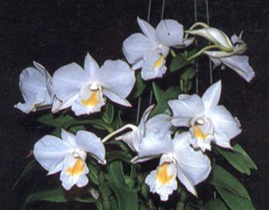 ดอกไม้ประจำจังหวัดระนอง