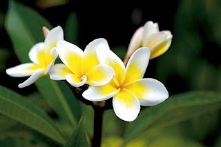 ดอกไม้ประจำชาติประเทศลาว