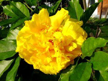 ดอกไม้ประจำจังหวัดบุรีรัมย์