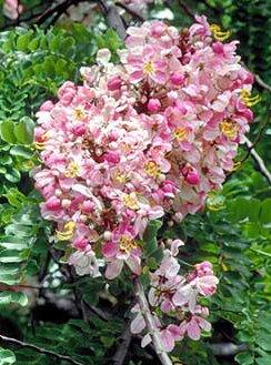 ดอกไม้ประจำจังหวัดชัยนาท