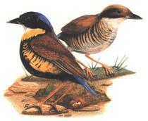 นกแต้วแล้วท้องดำ สัตว์ป่าสงวนของไทย