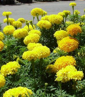 ดอกไม้ประจำจังหวัดสมุทรปราการ