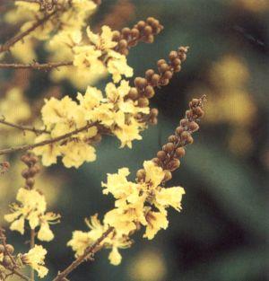ดอกไม้ประจำจังหวัดฉะเชิงเทรา, นนทบุรี, พิษณุโลก