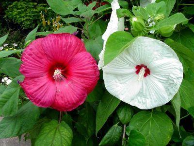 ดอกไม้ประจำจังหวัดปัตตานี