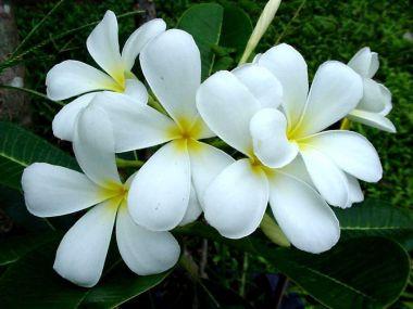ดอกไม้ประจำจังหวัดมหาสารคาม