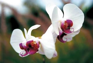 ดอกไม้ประจำชาติอินโดนีเซีย