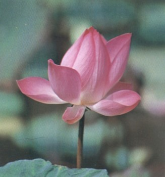 ดอกไม้ประจำจังหวัดปทุมธานี